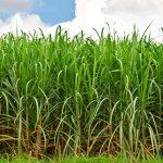 Software de TOTVS gestiona 25% de la producción azucarera mundial